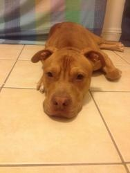 Leon is an adoptable American Staffordshire Terrier Dog in Flushing, NY. Leon is a great boy. He is happy-go lucky and just loves other dogs. He is really a handsome fella. He loves to snuggle and cud...