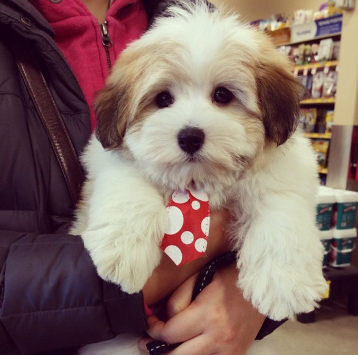 My Coton de tulear with his first groom.