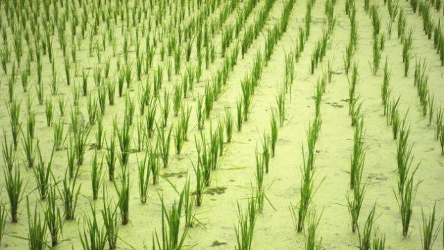 Pada bulan Januari 2015, produksi beras Indonesia disebutkan mencapai 2 juta ton, sedangkan kebutuhan dalam negeri mencapai 2,5 juta ton.