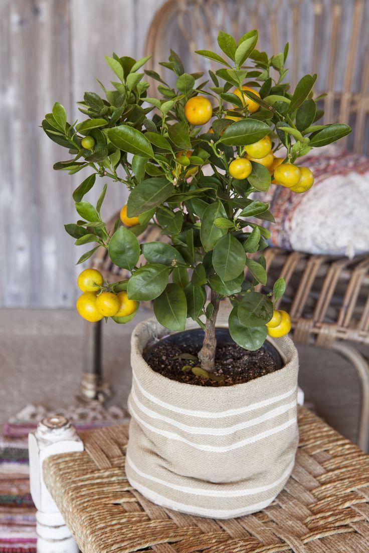 Lite appelsintre i grow-in selvvanningspotte