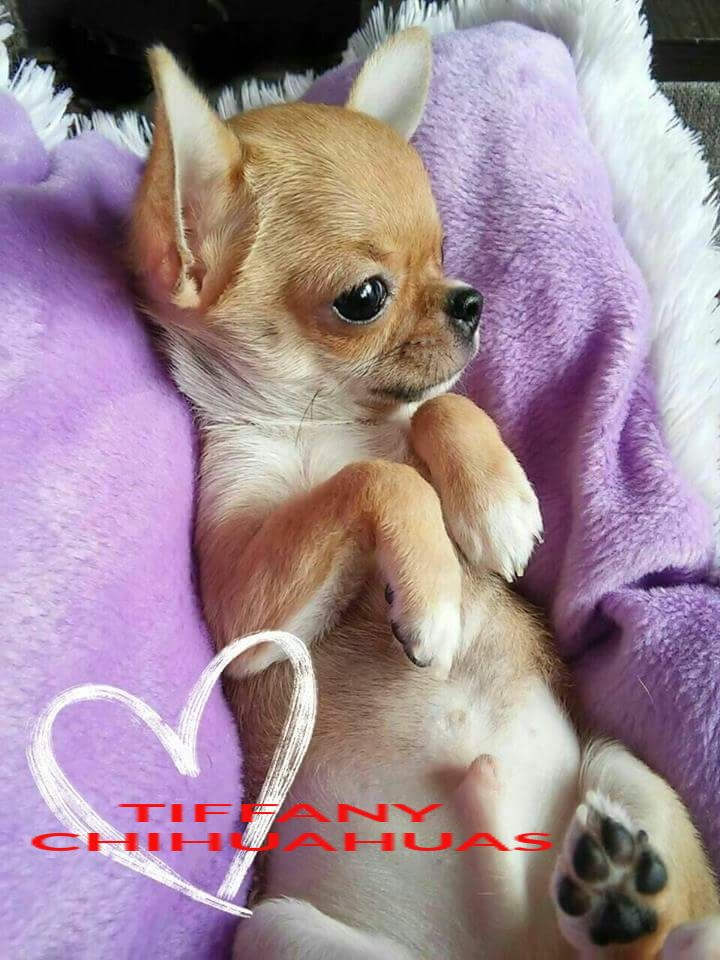Gucci Very Small Chihuahua Boy Bred By Tiffany Chihuahuas