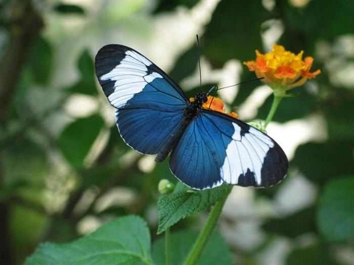 Mariposas  A pesar de ser nativas de Costa Rica, estas maravillosas mariposas también pueden encontrarse en los bosques de Belice. La Heliconius Sara es una de las pocas especies de mariposa que se reproduce en una planta específica. Si esta desaparece, la mariposa también lo hará.