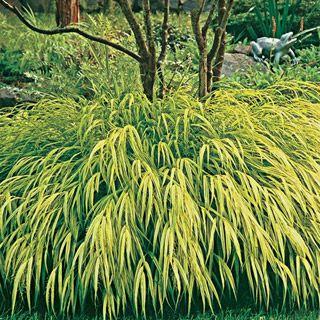 Golden hakone grass pssst grass man pinterest for Decorative grasses full sun