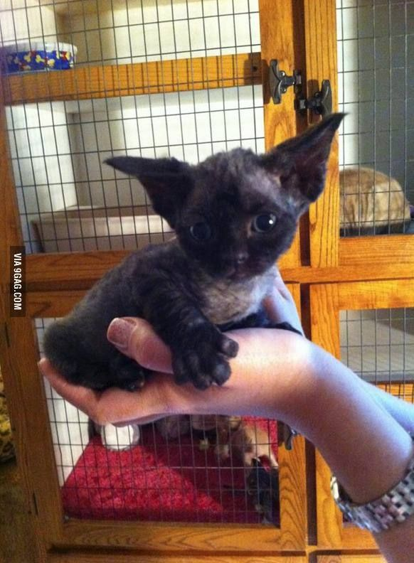 Gremlin/Yoda cat.  I want one