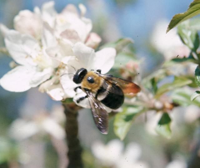 Carpenter bees are beneficial insects, but are sometimes a nuisance around the home. Learn when and how to control carpenter bees effectively.