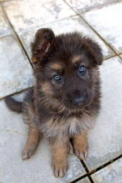 German shepard pup! I want it.
