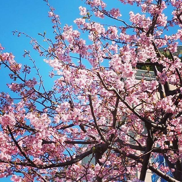 【ivan__jp】さんのInstagramをピンしています。 《😃綺麗な桜🌸 . 🎼恋をして 終わりを告げ🌸 🎼誓うことは: これが最後のHeartbreak🌸 🎼桜さえ風の中で揺れて🌸 🎼やがて花を咲かすよ🌸  #日本  #東京  #東京都 #桜 #いい天気 #はる  #綺麗  #観光 #散歩》