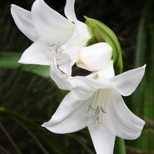 Born Free Amarcrinum for sale buy xAmarcrinum 'Born Free'