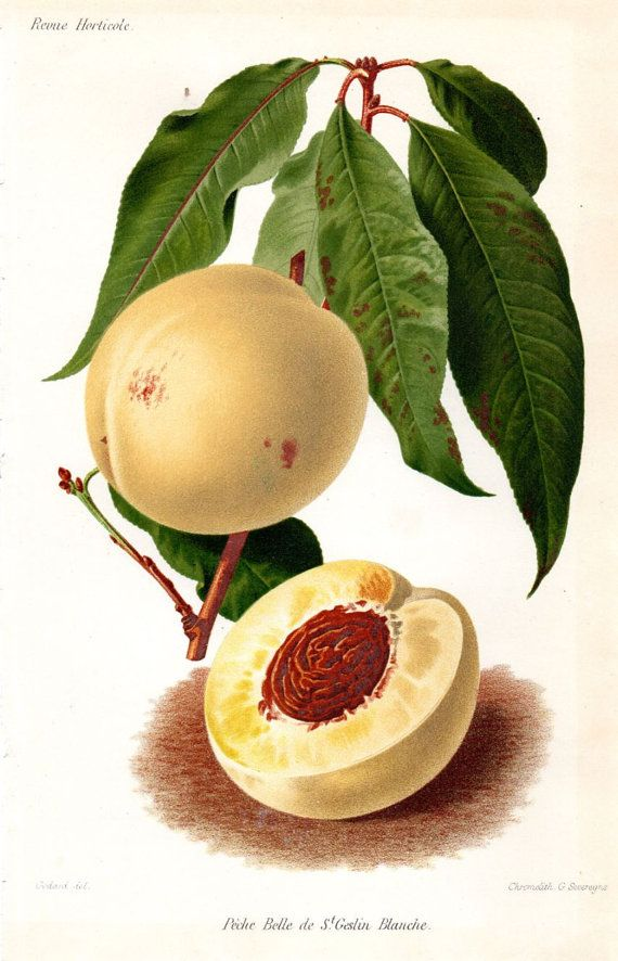 1883 Peach Antique Fruit Print French by AntiquarianPrints on Etsy, $35.00