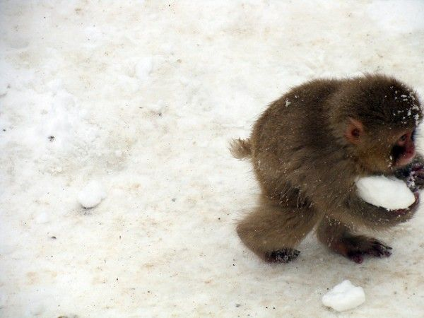 Young Japanese Macaques play in the snow and have snowball fights!