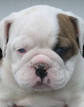 A rare blue-eyed English Bulldog puppy.
