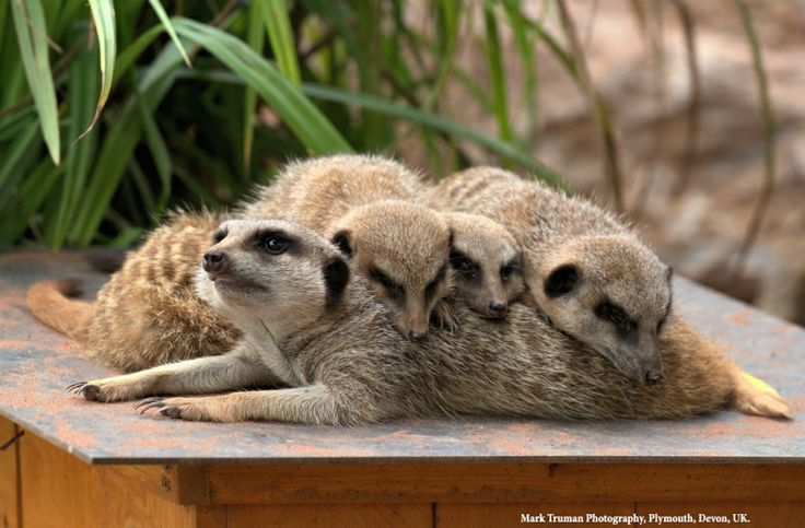 Cute overload. Great shot of the #Meerkats at Dartmoor Zoo by Mark Truman.