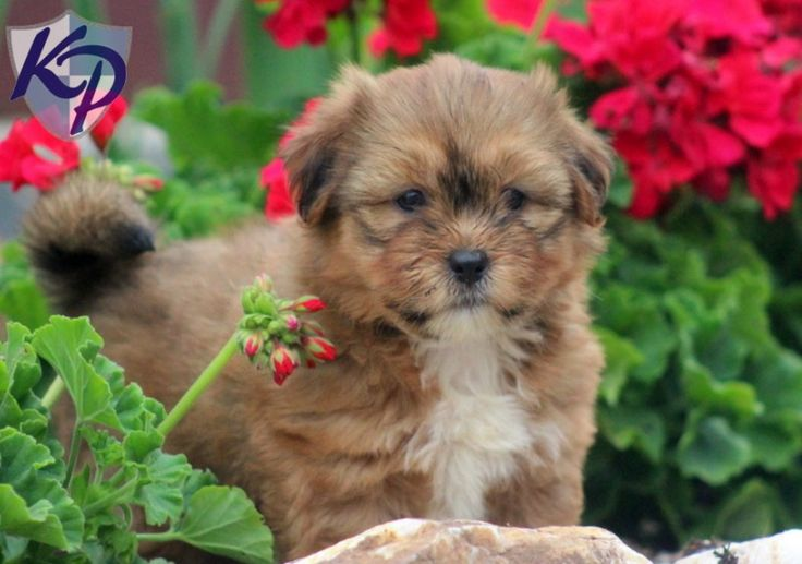 By Photo Congress || Teacup Yorkie Puppies For Sale In