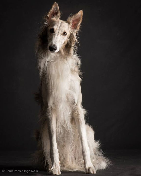 Silken Windhound Credits: Photo by Paul Croes | Borzoi ...