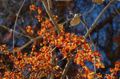 Will You Be Pulling Out Bittersweet This Fall or Admiring It?: The fall berries…