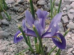 WISHLIST: SPRING Iris reticulata - Plant Finder