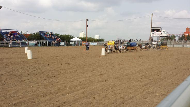 Mini chuckwagon races at Sid Hartung Memorial Rodeo