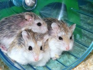 "Types of Hamster Breeds – Although the Expression ""hamster"" Describes Roughly 24 species of small rodents, that there are only approximately five located in the pet industry. Below is a list of the most common types found as pets. #TypesofHamsterBreeds #hamster"