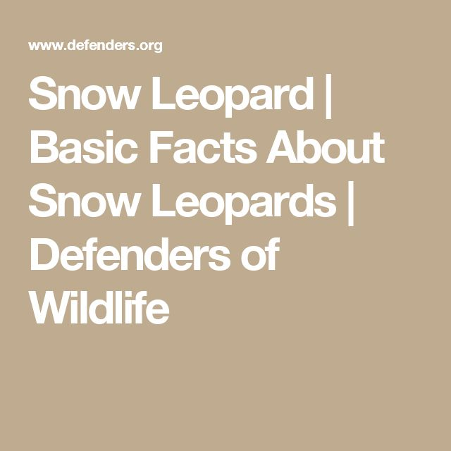 Snow Leopard   Basic Facts About Snow Leopards   Defenders of Wildlife