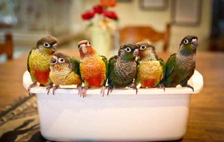 parrots for sale in arizona, Pionus for sale. Eclectus, african grey, Gouldian finch for sale, African Grey, Eclectus, baby parrot