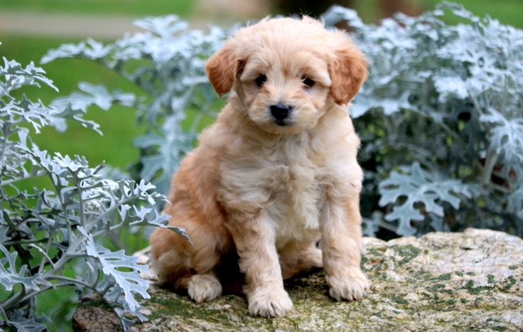 Mojo – Goldendoodle – Miniature Puppies for Sale in PA   Keystone Puppies