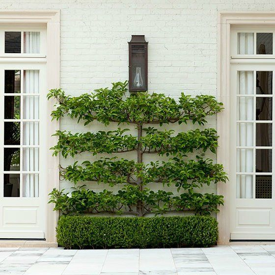 I am in love with this beautiful espalier! More about this ancient method of training trees to grow on flat surfaces on my blog today.  #howarddesignstudio