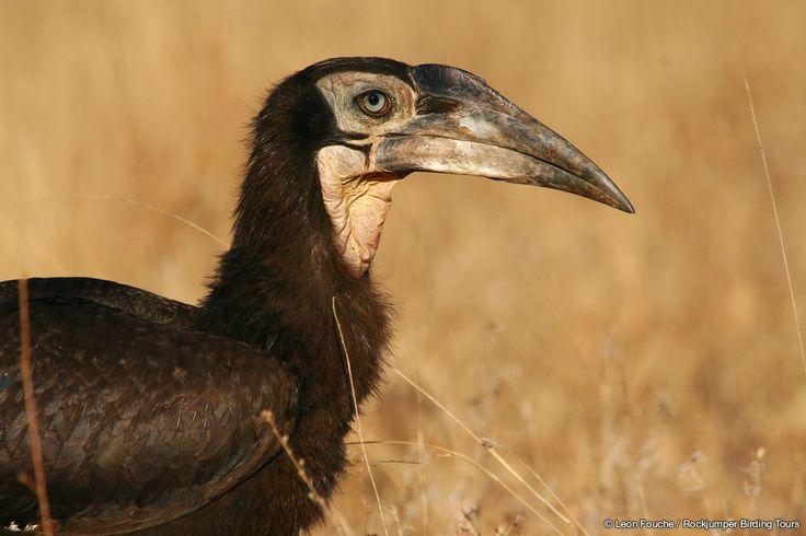 Southern Ground Hornbill juvenile