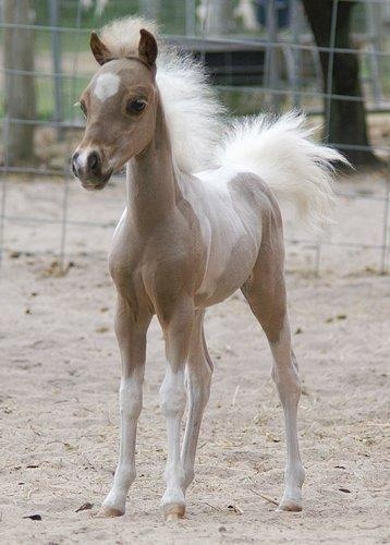 A tiny foal with crazy hair