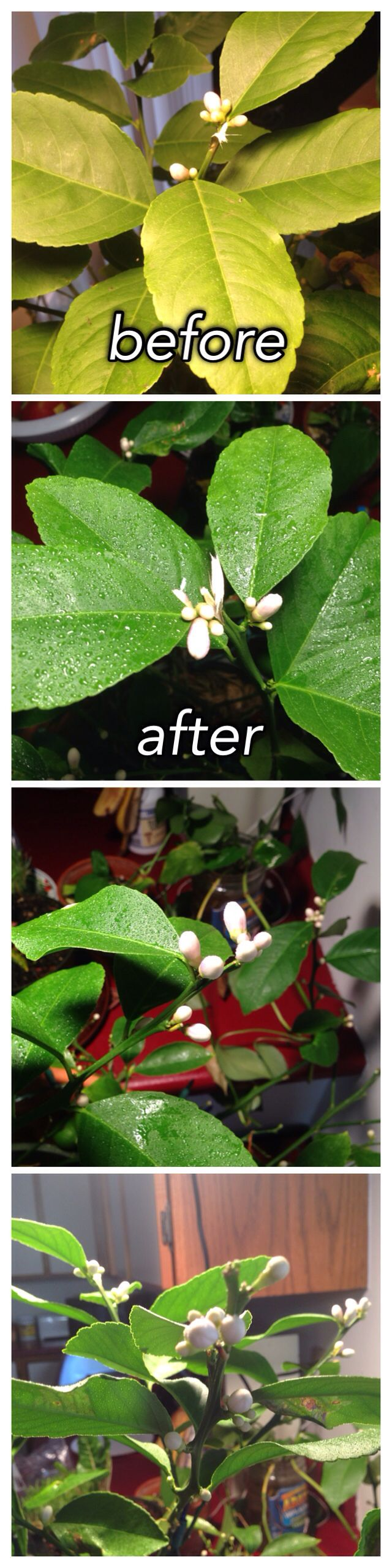 Before and after photo of indoor Meyer lemon with yellow dry leaves. SOLUTION:  1) add Epsom salts to its watering once a week 2) use any type of indoor grow light to give it the UV it needs indoors  3) lemons are tropical climate plants and need humidity - spray plant with water in a spray bottle 2-3 times a day VOILA!!! Healthy happy lemon tree with a zillion flowers that will all be lemons in a few months!  Indoor garden lemon tree lights plants citrus seeds flowers