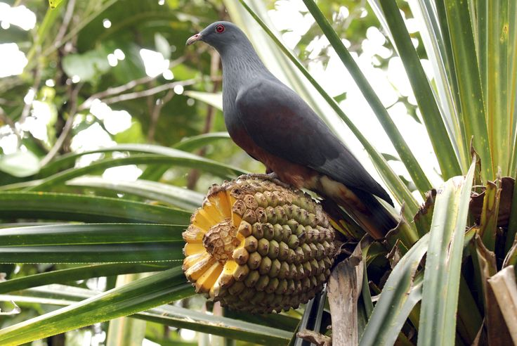 The Goliath imperial pigeon
