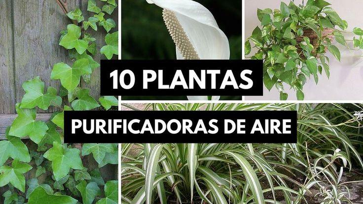 Las 25 mejores ideas sobre plantas que purifican el aire Plantas limpiadoras de aire