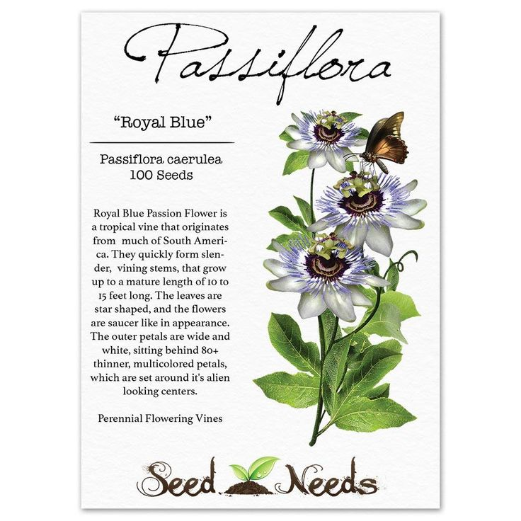 Amazon.com : Package of 100 Seeds, Royal Blue Passion ...