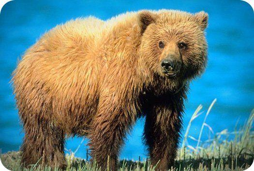 Ronny's totem animal: the bear.   Symbolic Bear Meaning
