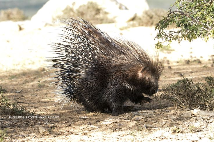 A not so fluffy porcupine, being relocated at Bucklands Private Game Reserve. #photography #porcupine #bucklandsprivategamereserve #bucklandswildlife #africa #southafrica #gamedrivesatbucklands #gamedrives