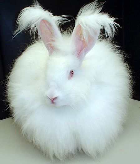 Fluffy white bunny rabbit - Lapin angora — Wikipédia