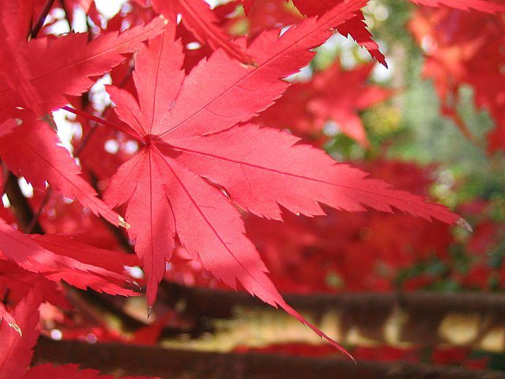 Höstens röda färg.