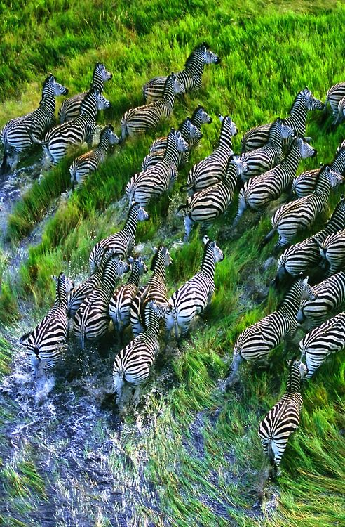 Movement of Zebra