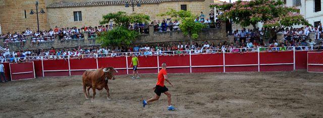 Santacara: Vacas de Vicente Domínguez - Fiestas de Agosto en ...