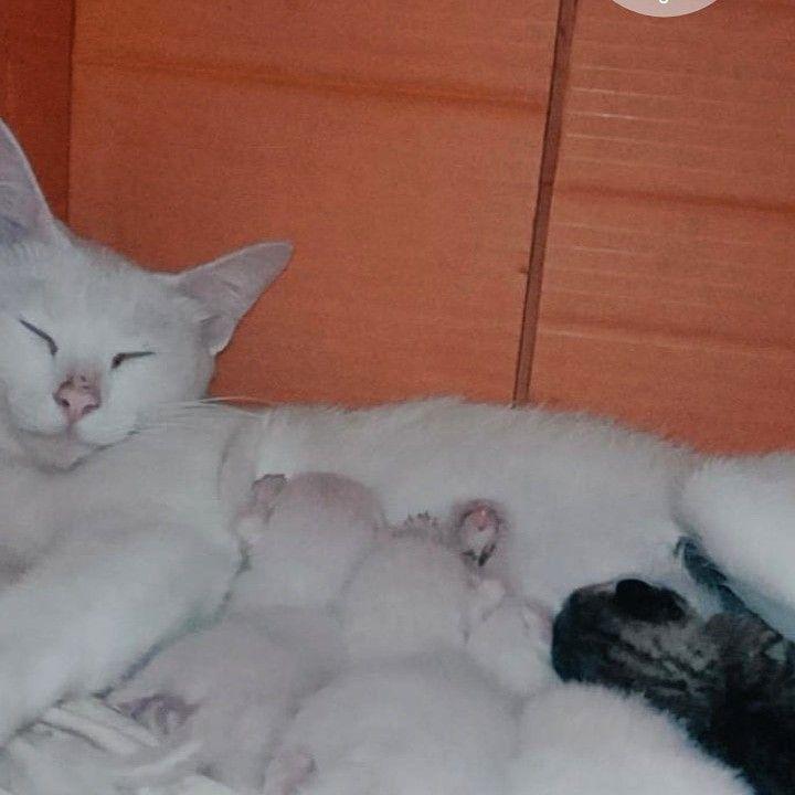 ไอต าวแมว ล กแมว แมว ไทย