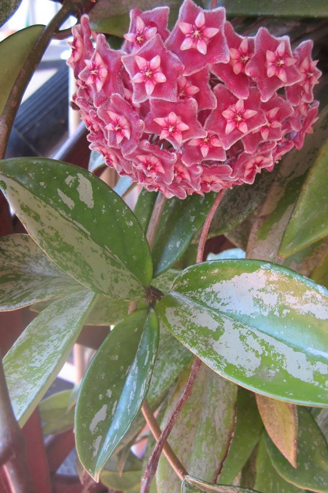 Hoya pubicalyx pink silver - lovely speckled leaves