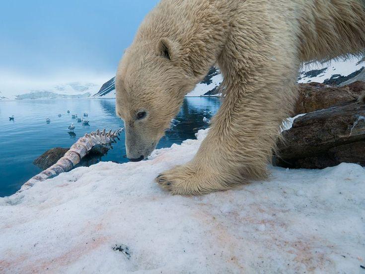 Polar Bear With Whale Bone    Photograph by Florian Schulz