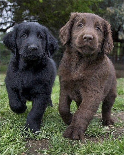 Black and Chocolate Lab Puppies.
