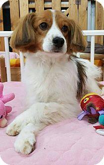 4/12/17 LONG ISLAND CITY, NY - Cocker Spaniel/Spaniel (Unknown Type) Mix. Meet Lolol, a dog for adoption. http://www.adoptapet.com/pet/17928241-long-island-city-new-york-cocker-spaniel-mix