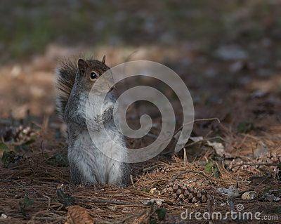 Scientific name of this squirrel: Sciurus carolinensis