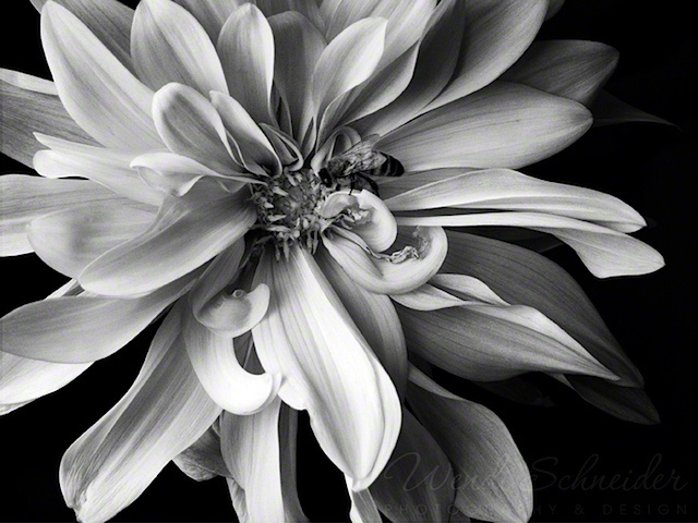 Dahlia with Bee, black and white, photography, flowers, nature © Wendi Schneider, All Rights Reserved