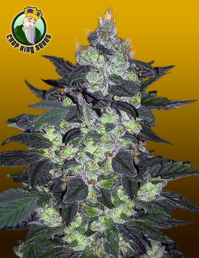 Candy Cane Marijuana Seeds Largest herb grinder available