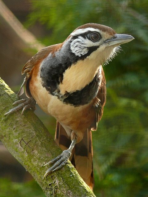 Greater Necklaced Laughingthrush, a species of bird in the Leiothrichidae family. It is naturally found in Bangladesh, Bhutan, China, India, Laos, Myanmar, Nepal, Thailand and Vietnam