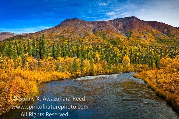 10月から11月といえば、紅葉の美しい季節だ。北米や日本、北半球の世界各地の山々が鮮やかな秋の色に染まる。ここアラスカでは、短い夏の終わりと共に、8月下旬から樹木が色付き初め、9月の半ばにはピークを迎える。        9月の良く晴れた日、アラスカ東部にあるアメリカ最大の...