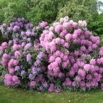 Pruning rhododendrons - best time is between the first frost in fall and the last frost in spring (while the sap is low) will work.