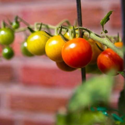 Gartenschule: Tomaten pflanzen: Reiche Ernte aus dem eigenen Garten
